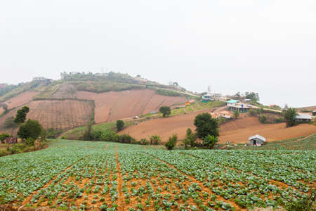 Chinese Cabbage Farm at North of Thailand