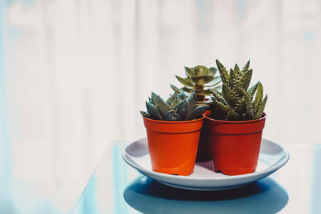 Succulent Plants, Aloe Vera, Haworthia, Echeveria in the pots on the Table. Decorate, Work from Home and Plants Concept.