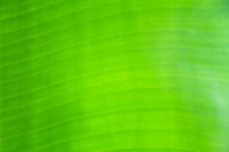 Blurred abstract background of green banana Leaf