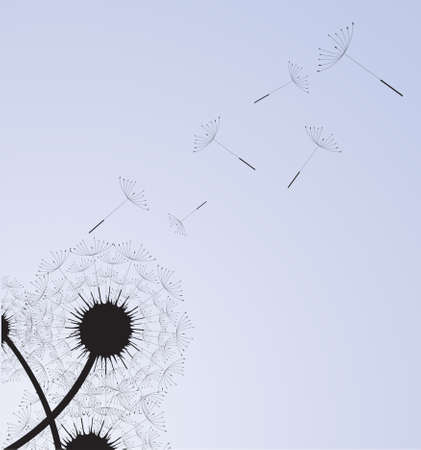 flimsy: Overblown dandelion with seeds flying away with the wind