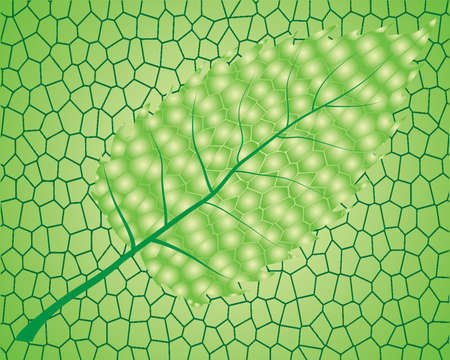 chlorophyll: Green  leaf isolated on green background Illustration