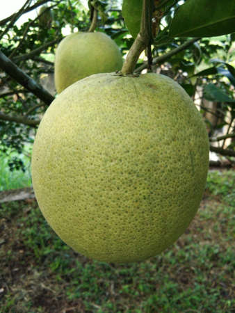 green grapefruit growing on tree in organic