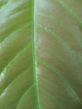 Leaf texture or leaf background for design with copy space for text or image. Abstract green leaf Stock Photo