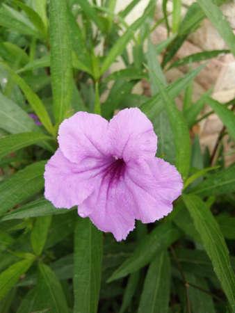 petunia wild: Purple flowers