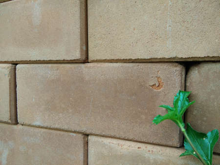 Climber plant with white brick wall background.Old brick wall with green tree.Grungy rad brick wall.Dirty brick wall. Stock Photo