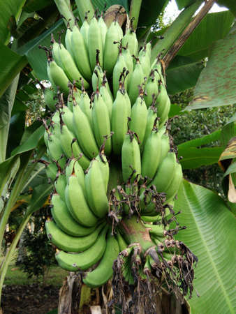 Green bannanas growing on a tree Stock Photo