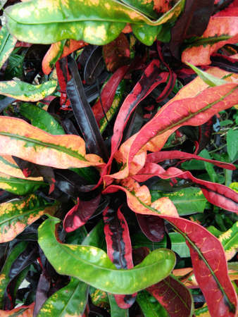 st  joseph: Red and yellow corkscrew fire croton tropical plant