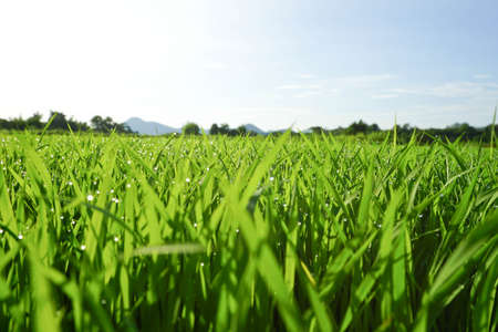 low perspective: low angle view of fresh grass against blue sky with clouds. freedom and renewal concept Stock Photo