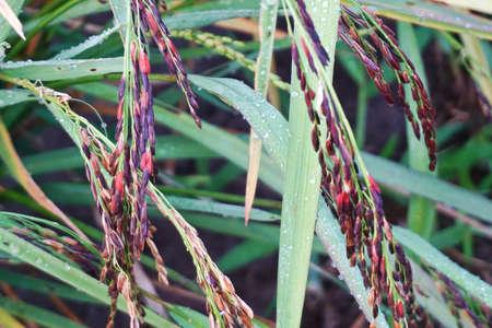close up riceberry Stock Photo