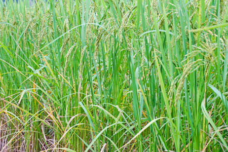 Beautiful rice Stock Photo