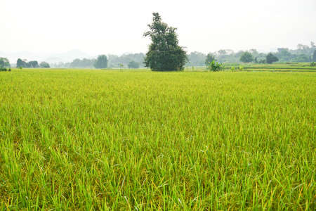 Picture of ear of rice in rural rice field Stock Photo