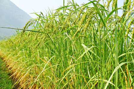 Rice grown in the green fields Stock Photo