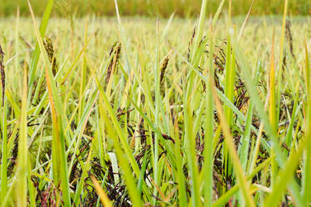 Rice grown in the green fields(riceberry)