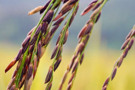 riceberry in a paddy field close up