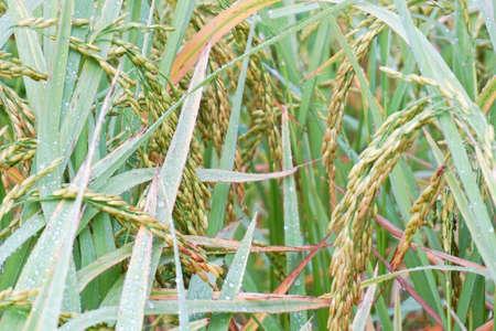 close up rice