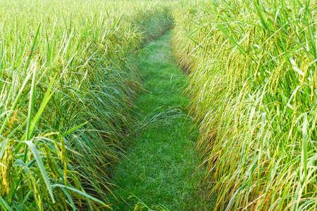 beautiful rice field Stock Photo