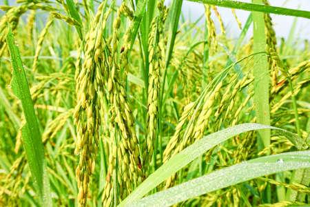 Closeup of Paddy rice field