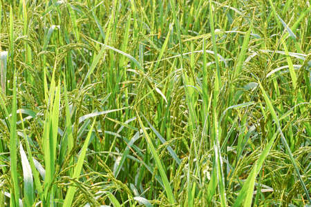 Rice and rice fields. Grains of rice in the rice fields. Agricultural areas.