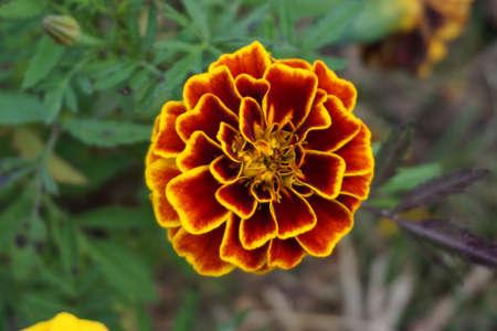 Oranje goudsbloembloemen