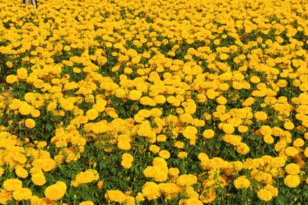 Vage de zomerachtergrond met het kweken van bloemencalendula, goudsbloem. Zonnige dag