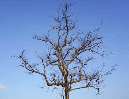 Dode boom met blauwe hemelachtergrond Stockfoto