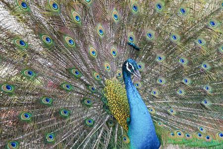 Een prachtige mannelijke pauw met uitgezette veren Stockfoto