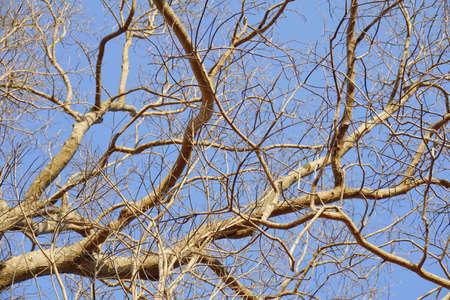 Droge twijgen van bomen. Het weer is warm en droog, de boom is bladerloos. Stockfoto