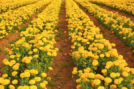 Mooie goudsbloem gele bloemen in de tuin
