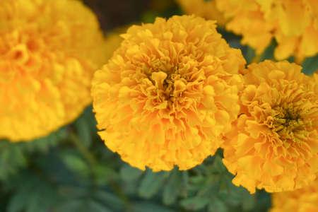 Veel mooie goudsbloembloemen in de tuin. Goudsbloembloemen met mooi op onduidelijk beeldachtergrond