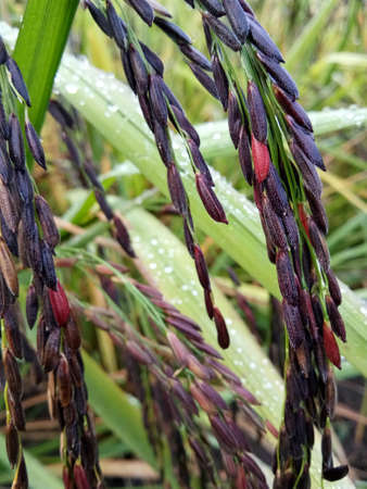 riceberry rice Stockfoto