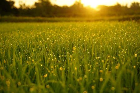 Grass. Fresh green spring grass with dew drops closeup Stockfoto - 103582243