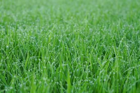 Green grass with,water drops