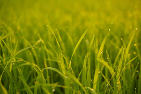 Grass. Fresh green spring grass with dew drops closeup Stockfoto - 103624333