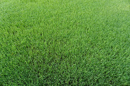 Background of a green grass. Green grass texture Stockfoto - 103624336