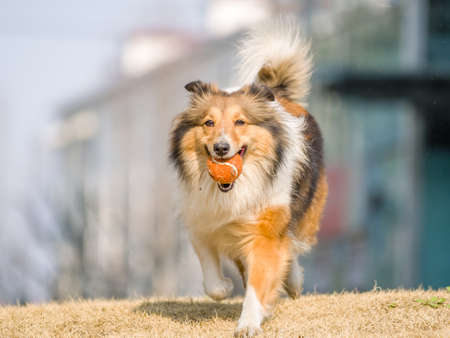 no rush: Dog, Running Shetland Sheepdog with ball in mouth