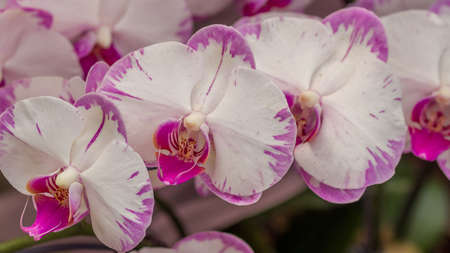 Beautiful orchid - phalaenopsis, against natural green background in greenhouse Banque d'images