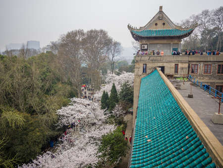 Spring flowers series, Beautiful Cherry blossom , white sakura flower in Wuhan University
