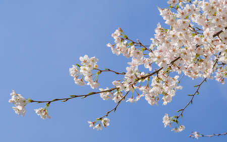 Spring flowers series, Beautiful Cherry blossom , white sakura flower in Wuhan University