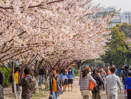 Shanghai, March 30, 2014: Tongji University Cherry Blossom Festival