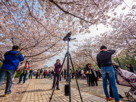 Shanghai, March 30, 2014: Tongji University Cherry Blossom Festival