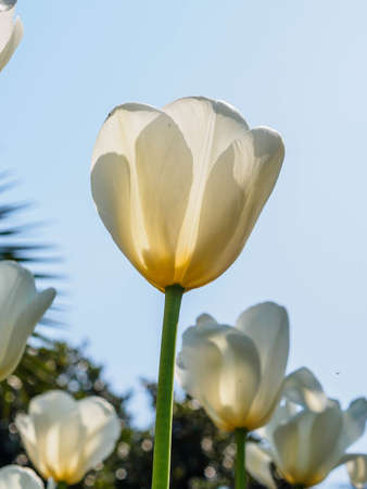 Spring flowers series, white tulips against strong sun shine, very charming transparent petals photo