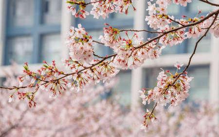 Spring flowers series, Cherry Blossom in Tongji University, Shanghai, China. Stock Photo