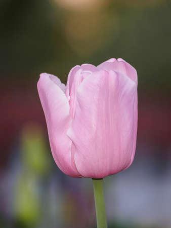 pink tulips: Spring flowers series, pink tulips