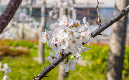 asian pear: Spring flowers series, Beautiful Cherry blossom , white sakura flowers