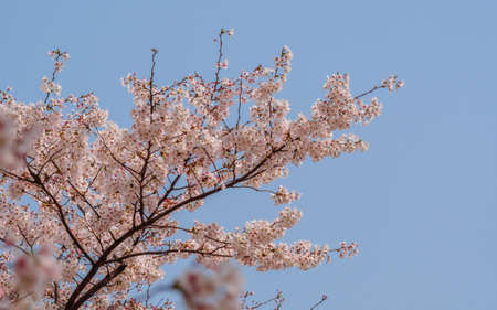 Spring flowers series, Cherry Blossom in Tongji University, Shanghai, China. photo
