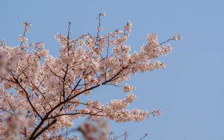 Spring flowers series, Cherry Blossom in Tongji University, Shanghai, China. photo