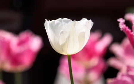 Spring flowers series, single white tulip among pink tulips, backgound is soft. photo