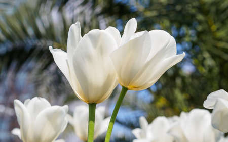 Spring flowers series, twin white tulips with charming transparent petals in field photo