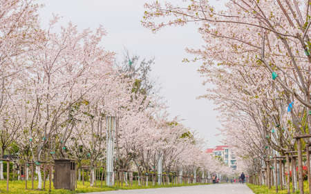 Spring flowers series, beautiful Cherry blossom , two row pink sakura flowers along road photo