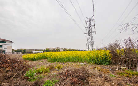 napus: field of rapeseed (brasica napus) and high voltage pole in Shanghai Stock Photo